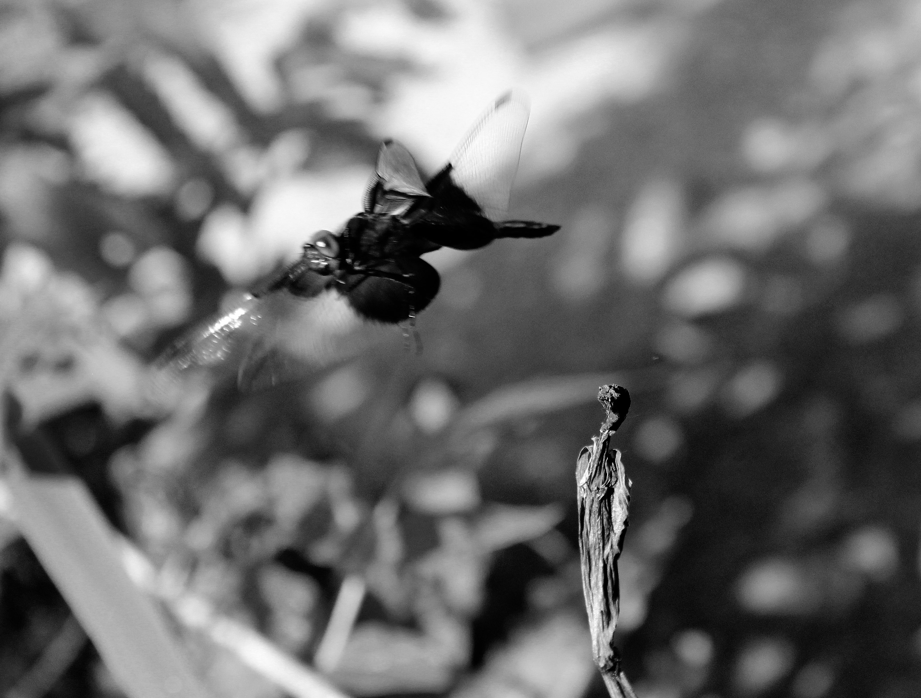 This image has an empty alt attribute; its file name is black-and-white-dragonfly.jpg