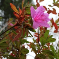 A Pink Azalea Flower and Fall Leaves